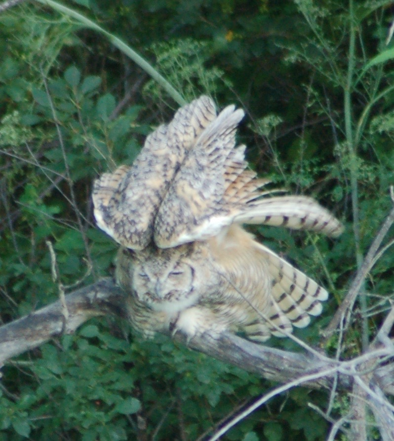 owl yoga